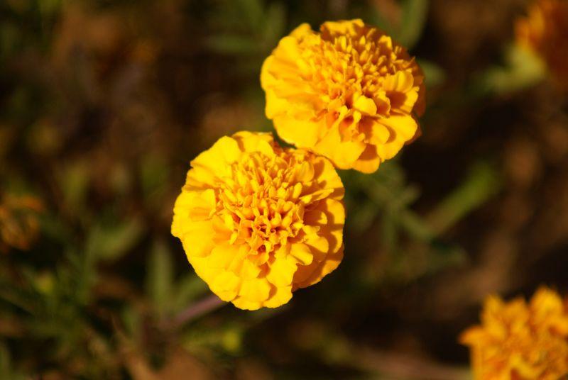 bloem olijven australië