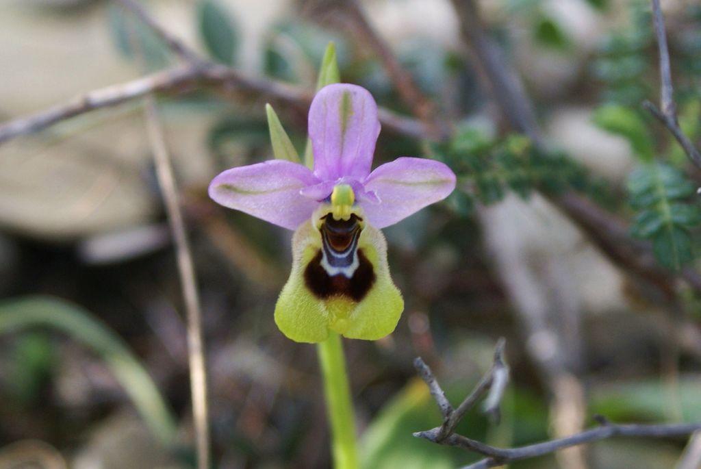 Wilde bloemen op Kythira